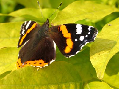 Butterfly in a garden in Calne Wiltshire